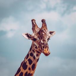 freetoedit giraffe animal blue sky