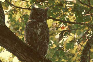 owl autum autumn