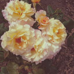 pcyellow yellow roses nature beautifulnatur