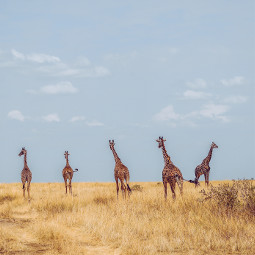 freetoedit giraffe animal animals sky