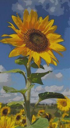 freetoedit sunflowers picsarteffects picsart