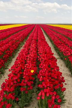 freetoedit beauty tulips red yellow