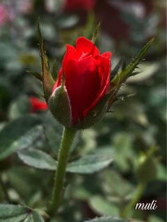 nature naturephotography red freetoedit