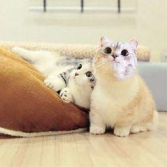 可爱猫 freetoedit kittenstickerremix