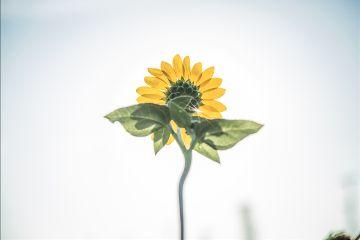 freetoedit sunflower flower minimal objects