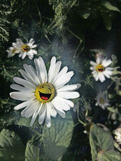 daisy magiceffectgalaxy stickers happiness