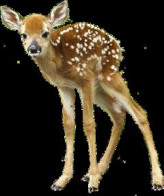 deer fawn freetoedit