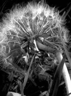 freetoedit blackandwhite dandelion