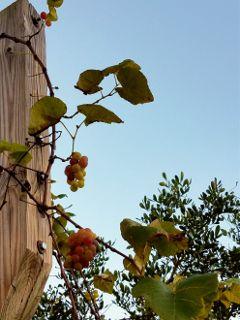 evening eveningphotography grapes grapevine