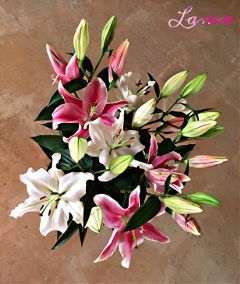 lily pink green