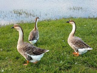 dpcwingedthings ducks freetoedit naturephoto