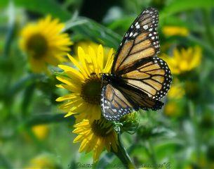 waptiltshifteffect butterfly daisy flower monarchbutterfly
