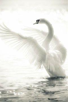 freetoedit beauty whiteswan animal bird