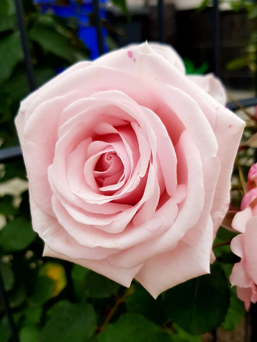 good morning and happy tuesday rose pink flower