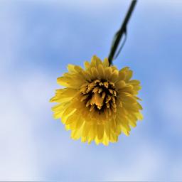 yellow flower freetoedit