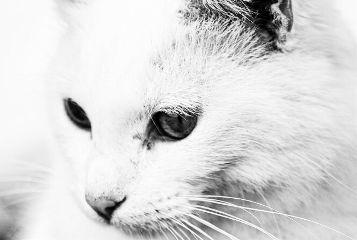 whiteandblack petsandanimal puppy cat muzzle freetoedit