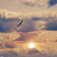 eagleflying sunset freetoedit myoriginalphoto