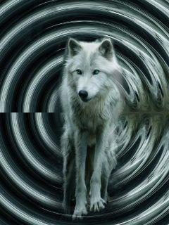 cylindermirroreffect freetoedit wolf nature night
