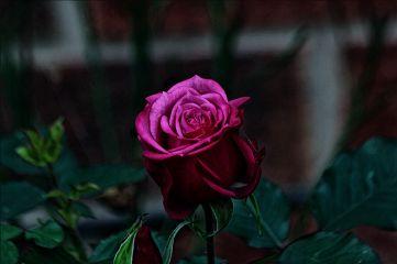 magiceffectmoonlight rose flowers mygarden