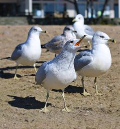 freetoedit remixit seagulls loudmouth myphotography