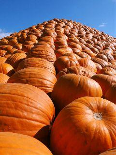 pumpkins fallcolors orange bluesky differentperspective freetoedit