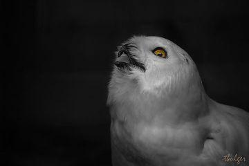 freetoedit remixit owl myphotography