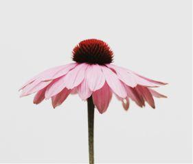 freetoedit flower object nature pink