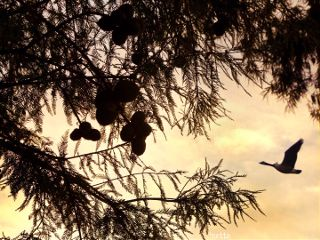freetoedit morningsun throughthetrees silhouette gooseinflight