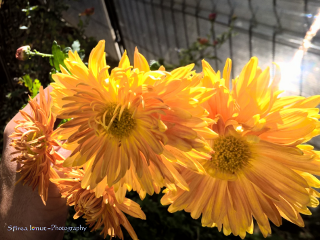 freetoedit flowersyellow natureyellowflowers colors flare