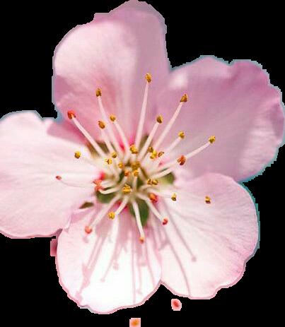 flor de cerezo - Sticker by Ceci Flores