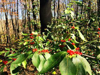 beautyofnature woodland trees leaves berries