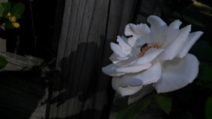 freetoedit white flower shadows insect