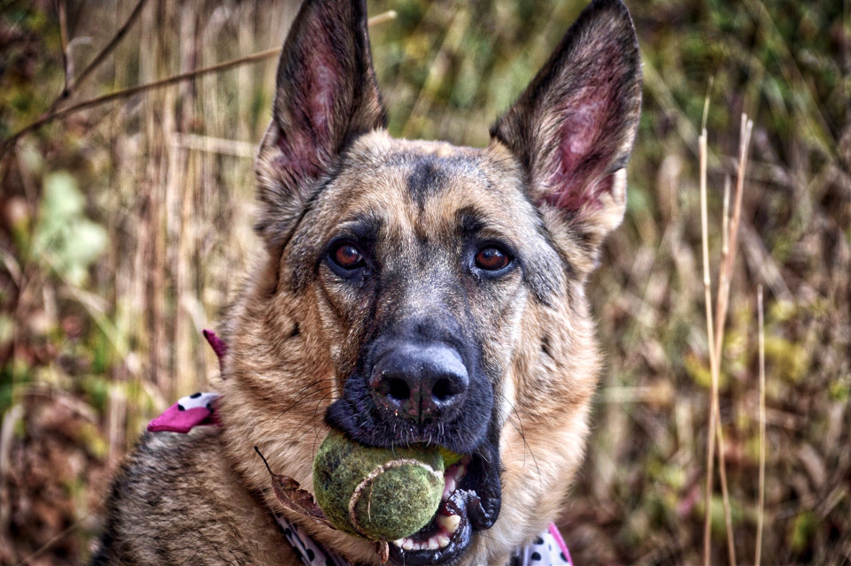 Lucy and the Ball #AngelEyesImages#nature#dogs#petphotography#germanshephard#germanshephards#nikon#nikonusa#nikond5300#nikonphotography#lumix#lumixusa#picoftheday#instagram#instagramers#instagrammers#picsart#travel#traveler#traveling#travelphotography#canon#canonus#canonusa