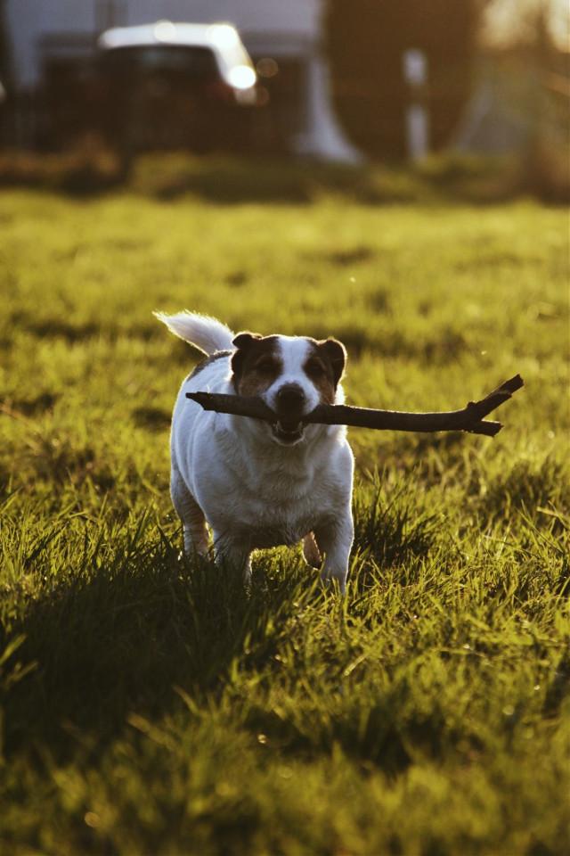 my buddy again🐶 #cooper #dog #puppy #pupper #doggo #pet #petsandanimals #cute #fluffy #playing #sunshine #backlit #sunset #goldenhour #fun #bestfriends #photography #dogphotography #petphotography