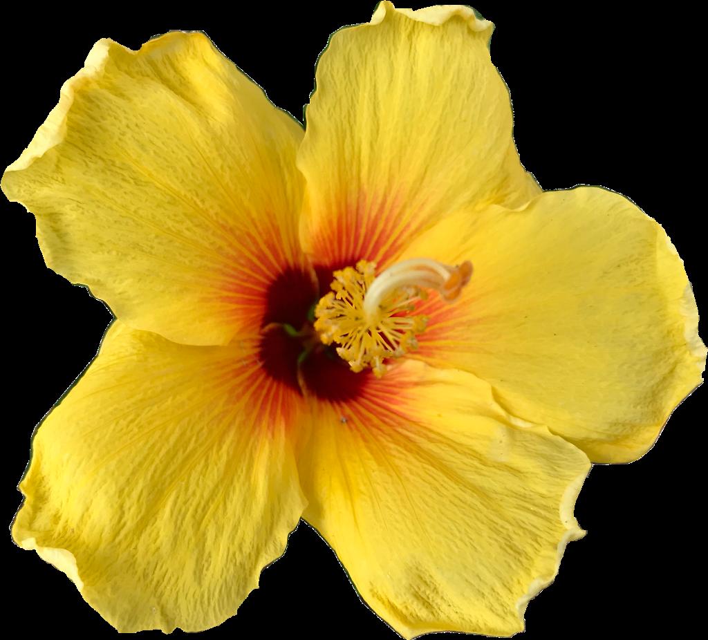 Flower Yellowflower Hibiscus Hibiscusflower Hibiscusyel