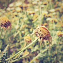 dpcfields nature countryside simpleflowers driedflowers
