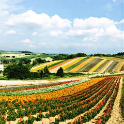 dpcfields colorful freetoedit flower fields