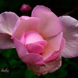 rosebud colorchanger