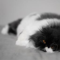 pets cat sleepingcat sleepy blackandwhite
