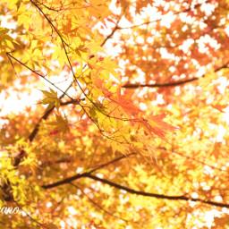 japan autumnleaves