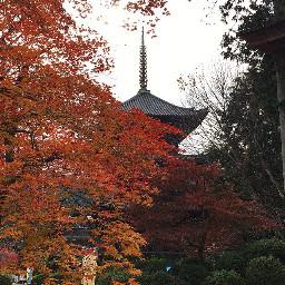 japan shiga maple mapletree classical
