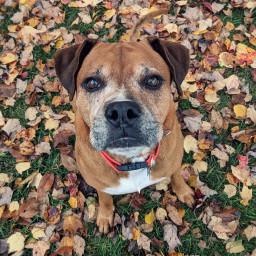 fluffy dog pup fall leaves freetoedit