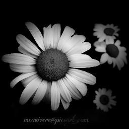 blackandwhite blossom flower black&white black