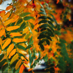 fallcolors yellow leaves leaveschanging kingcollection pcleaves