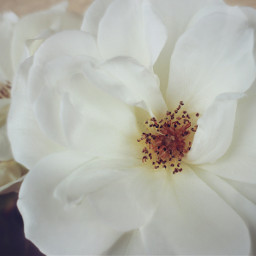 nature flowers naturesbeauty whiterose naturephotography