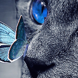 freetoedit blackandwhite cat bluebutterfly picsart