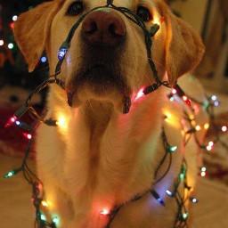 freetoedit christmas merrychristmas christmasdog dog