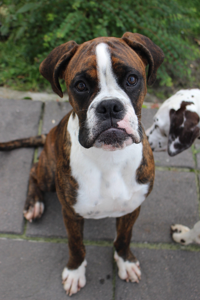 #boxer #boxerlove #mali #dog