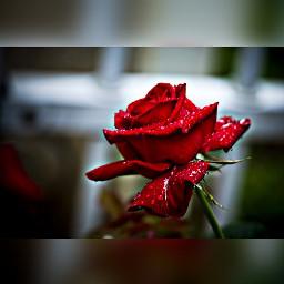 freetoedit red rose