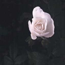 nature flowers naturesbeauty singleflower whiterose